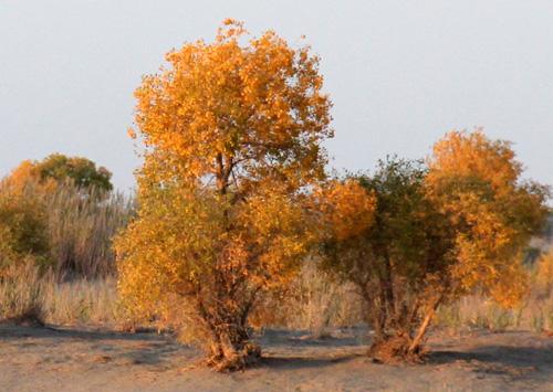 戈壁滩上的顽强生命:胡杨,红柳,骆驼草