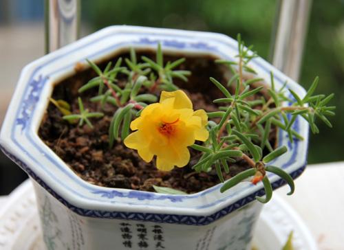 太阳花种子种植方法详细介绍_乐乐简笔画