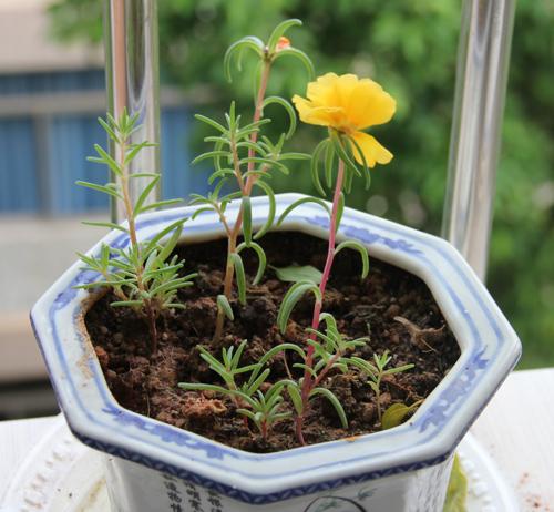 花种子_太阳花图片1(2012年4月29日):第1朵太阳花     这些太阳花种子